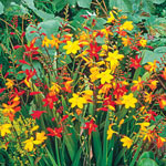 Crocosmia Mixture