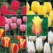 WOW® Perennial Tulip 