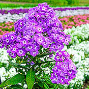Brecks Goliath Phlox