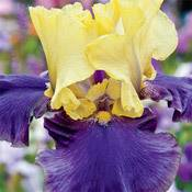Jurassic Park Reblooming  Iris
