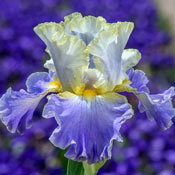 Brecks Gilt Edged Bond Bearded Iris