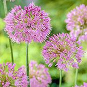Brecks Nutans Allium