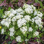 Brecks Lucky Melody<sup>&reg;</sup> Mist Flower
