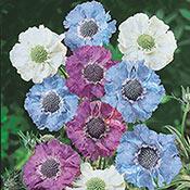 Brecks Isaac House Pincushion Flower Blend