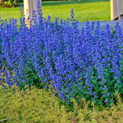 Brecks Cat's Meow Catmint