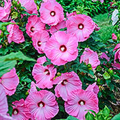 Brecks Airbrush Effect Hibiscus