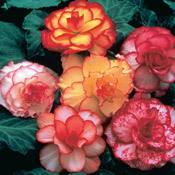 Brecks Picotee Begonia Mixture