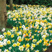 Brecks Giant Daffodils For Naturalizing
