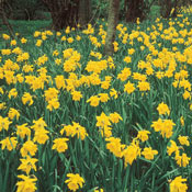 Giant Yellow Jonquils for Naturalizing