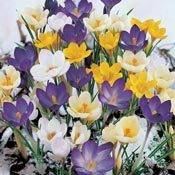 Snow Crocus Mixture