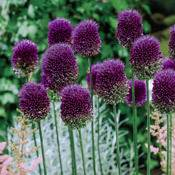 Brecks Drumstick Allium