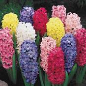 Brecks Giant Hyacinth Mixture
