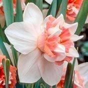 Brecks Extravaganza Daffodil