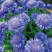 X Blue Aster