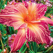 Pink Stripes Daylily