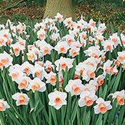 Brecks Salome Daffodil