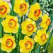 Brecks Bantam Daffodil