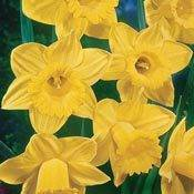 Brecks Yellow Trumpet Daffodil Super Sak<sup>&reg;</sup>