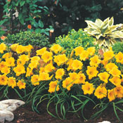 Brecks Daylilies Category