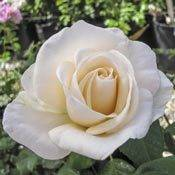 Easy Spirit<sup>&trade;</sup> Floribunda Rose