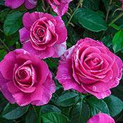 Brecks Parade Day Grandiflora Rose