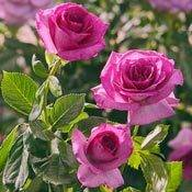 Melody Parfumée™ Grandiflora Rose