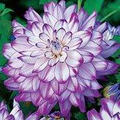 Brecks Who Dun It Dinnerplate Dahlia