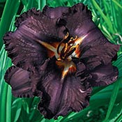 Brecks Longfields Black Magic Reblooming Daylily