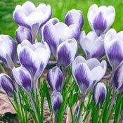Brecks Prince Claus Snow Crocus