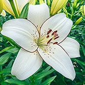 Brecks Eyeliner Lily