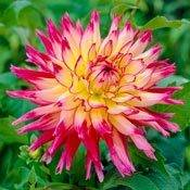 Brecks Nenekazi Dinnerplate Dahlia