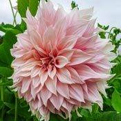 Brecks Break Out Dinnerplate Dahlia