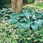 Hosta Mixture Super Sak