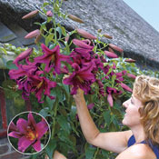 Brecks Purple Prince Lily Tree<sup>&reg;</sup>