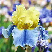 Brecks Easter Candy Bearded Iris