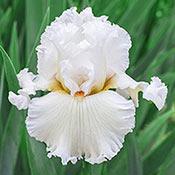Brecks Catch A Star Bearded Iris