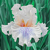 Brecks Cotton Tail Bearded Iris