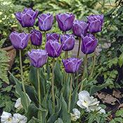 Brecks Bleu Aimable Tulip