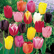 Cream-of-the-Crop Tulip Mixture Super Sak