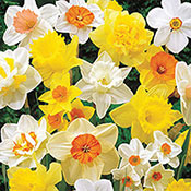 Mixed Daffodil Super Sak