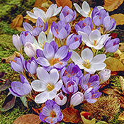 Brecks Fall Blooming Crocus Mixture