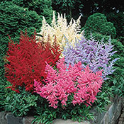 Astilbe Mixture Super Sak