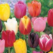 Brecks Cream-Of-The-Crop Tulip Mixture Super Sak® Category