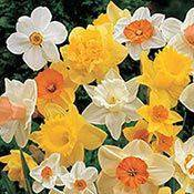 Brecks Mixed Daffodils Super Sak® Category