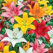 Brecks Asiatic Lily Mixture Super Sak® Category
