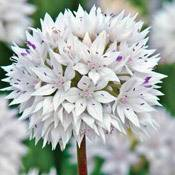 Brecks Graceful Allium
