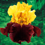 Brecks Supreme Sultan Tall Bearded Iris