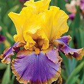 Brecks Iris Category