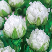 Ice Age Tulip