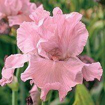 Wild Irish Rose Tall Bearded Iris